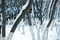 大树上的积雪