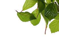高清拍摄白色背景上的绿叶