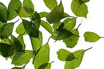 高清拍摄白色背景上的绿叶大图