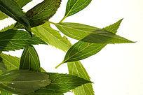 高清拍摄绿色树叶叶脉清晰拍摄