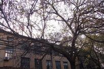老房子前面的大树