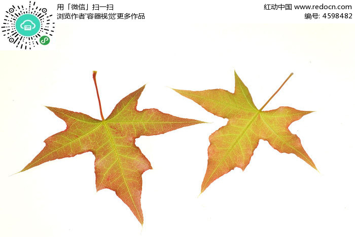 原创摄影图 动物植物 树木枝叶 两片枫树叶子叶脉高清大图  请您分享