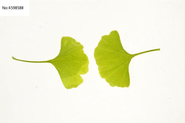 原创摄影图 动物植物 树木枝叶 两片银杏树叶叶脉高清大图  请您分享