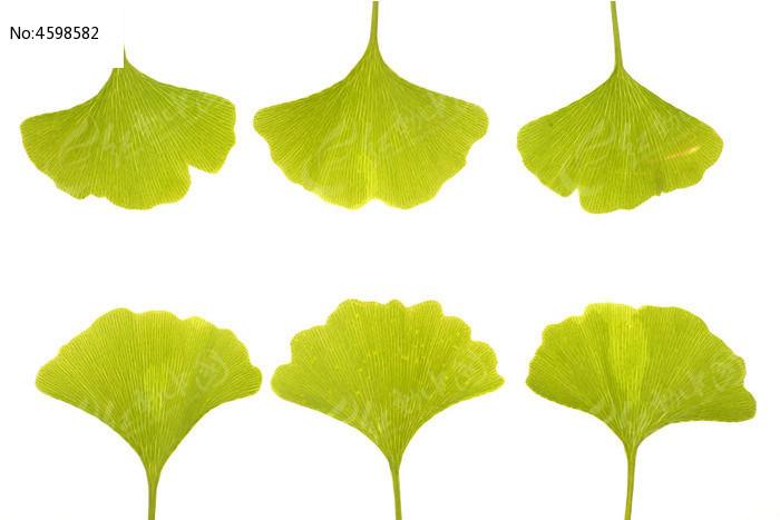 银杏树叶-银杏树叶