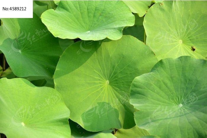 原创摄影图 动物植物 花卉花草 满池的荷花叶子