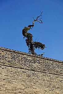 岱庙古城墙外的苍松