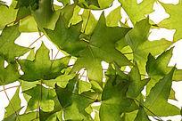 铺在白色背景上的绿色枫叶叶脉大图