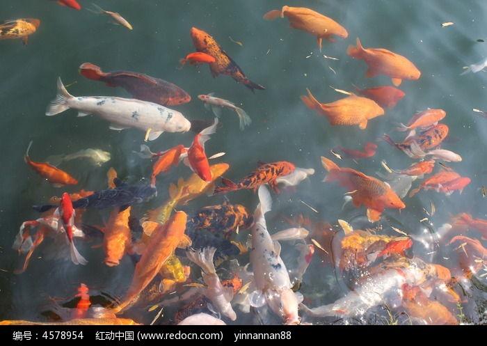 水中鲤鱼 图片,高清大图 水中 动物素材