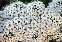野生花卉 珍珠梅