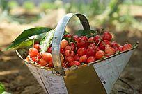 一篮子红色樱桃