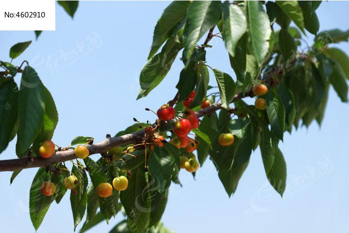 樱桃树枝叶上的红色樱桃高清图片下载 编号4602910 红动网图片