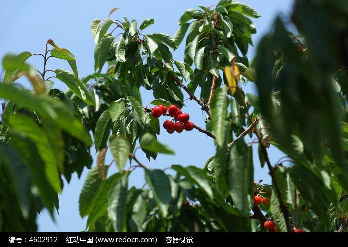 樱桃树枝叶上的红色樱桃果实高清图片下载 编号4602912 红动网图片