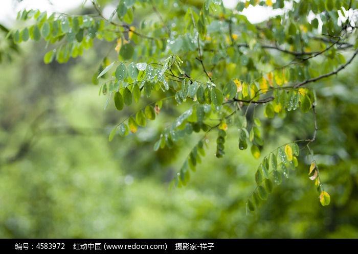 雨后槐树叶图片,高清大图_树木枝叶素材