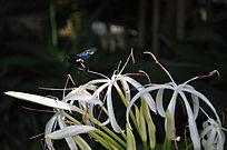 在白色花瓣飞翔的黑锋