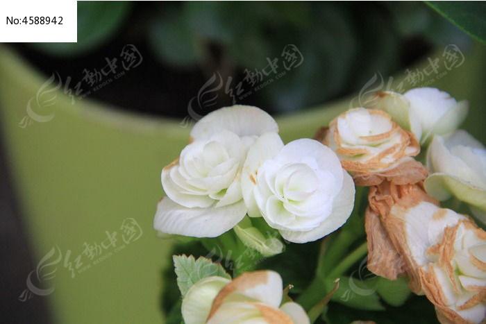 枝头上的小白花图片,高清大图_花卉花草素材