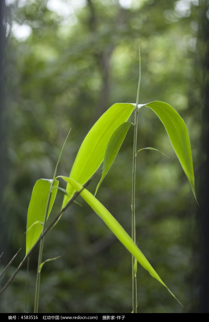 竹叶图片,高清大图_树木枝叶素材