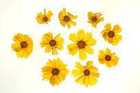 高清拍摄黄色金鸡菊大图