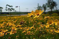 高清拍摄黄色金鸡菊高清图片