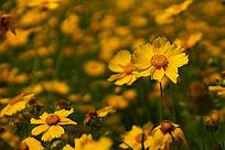 高清拍摄黄色金鸡菊花朵