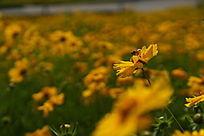 高清拍摄黄色金鸡菊上的蜜蜂