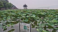 杭州西湖美景夏日荷花池塘美图实拍摄影图