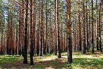 红花尔基子松原始森林
