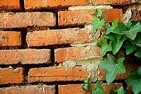 红砖墙上的绿色爬墙虎植物