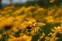 黄色金鸡菊大图