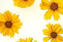 黄色金鸡菊高清大图