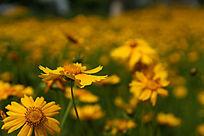 黄色金鸡菊高清拍摄