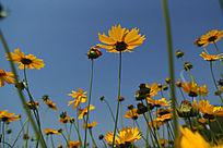 蓝天下的黄色金鸡菊