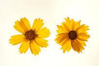 两朵黄色金鸡菊高清晰大图