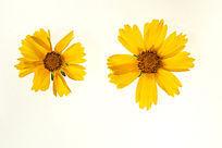 两朵黄色金鸡菊花朵大图