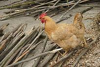 农家老母鸡
