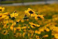 色彩娇艳的黄色金鸡菊