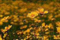 色彩鲜艳的黄色金鸡菊高清大图