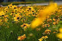 色彩艳丽的黄色金鸡菊高清大图