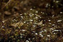 土地上的白色小碎花