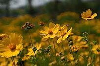 鲜艳的黄色金鸡菊高清大图