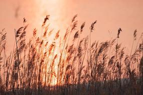 夕阳下水边的芦苇