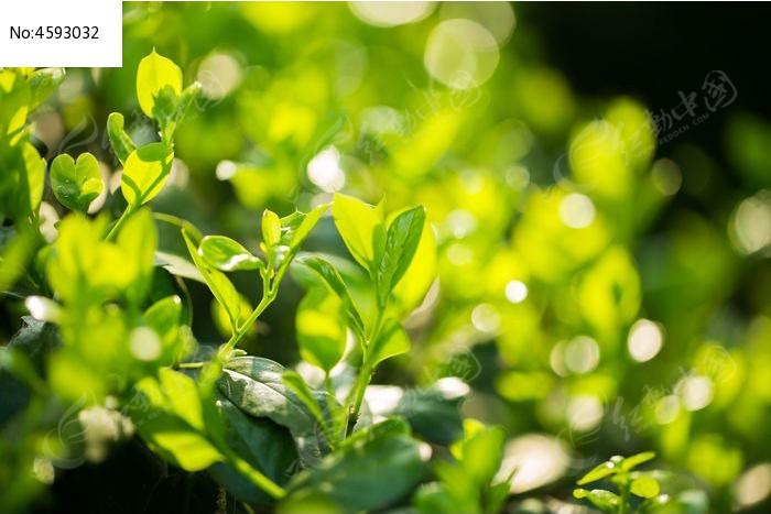 阳光下的树叶图片,高清大图_花卉花草素材