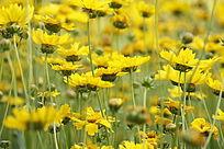 一簇黄色的小菊花