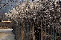 栅栏围墙内的白色樱桃花花丛