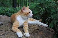 趴着的黄白色猫猫