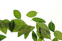 白背景上的绿色高清树叶