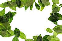 白背景上的绿色树叶