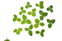白背景上的绿色树叶叶片大图