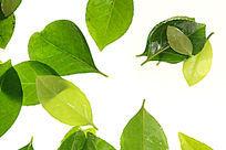 白色背景上的绿色树叶高清拍摄