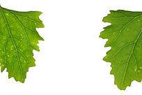 白色背景上的绿色树叶叶脉大图