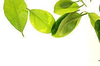 白色背景上的绿树叶